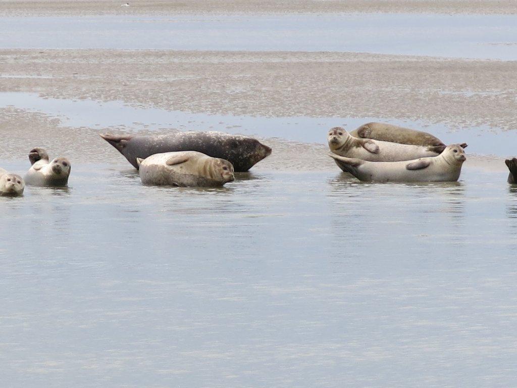Phoques et veaux marins à Berck - Baie d'Authie