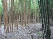 Phyllostachys bambusoides holochrysa2