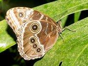Morpho peleides Naturospace Honfleur