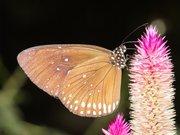 Euploea modesta