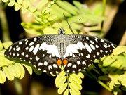 Papilio demoleus Naturospace Honfleur