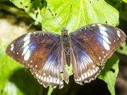 Hypolimnas bolina (?) Naturospace Honfleur