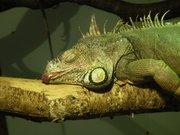 Zoo de Jurques- Iguane