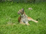 Zoo de Jurques - Lynx 04