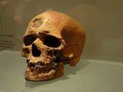 Crâne - collection du Musée de Préhistoire des gorges du Verdon