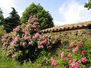 Rosier arbuste de l'abbaye de Valsaintes