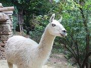 Les Lamas de la Montagne Noire à Castans