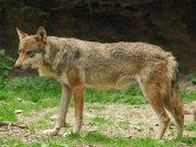 Parc Alpha, le Temps du Loup