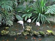Flamands roses - Parc Phoenix de Nice