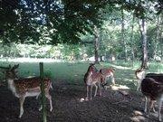 Parc Animalier de Saint-Laurent -  Daims bruns