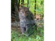Prionailurus viverrinus Fishing cat Pont-Scorff Zoo