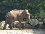 Elephant Zoo de Pont-Scorf (79)