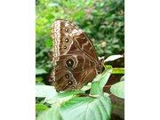 PapillonYeux