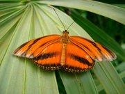 PapillonOrange