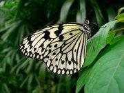 PapillonBlancNoir