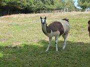 Lama au parc animalier de Pradinas