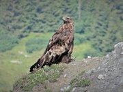 Aigle royal sur les crêtes du Mont Charvet 2361 m, forêt de la Rosière en arrière plan (4)