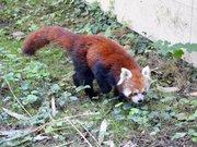 Panda roux (Zoo-Amiens)c
