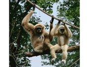 Gibbon au Zoo d'Amiens
