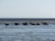 Phoques veaux marins 2